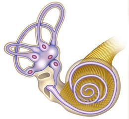 Canales auditivos de la cóclea