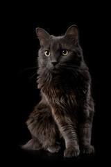 Portrait of a Gray Nebelung Cat