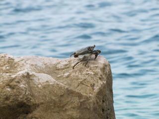 Siri nos rochedos da ilha de Curacao