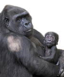 Portrait of gorilla-mother with her baby on white background