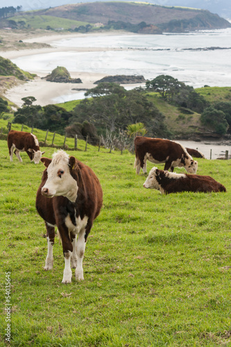 cattle grazing above Anchor Bay