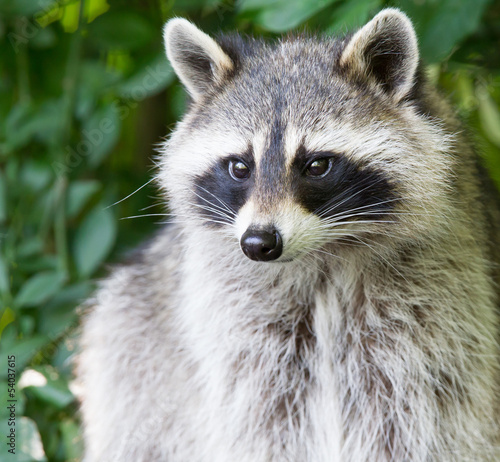 Adult raccoon portrait