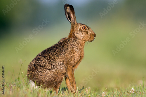 Alert Jackrabbit sitting in grass