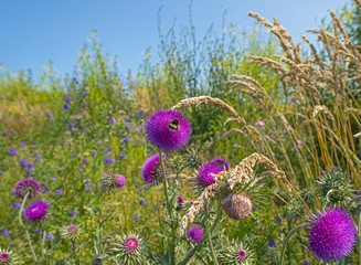 Flowers of a thistle in a field in summer