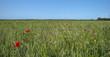 Corn growing on a field in summer