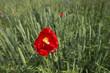 Poppy in a field with corn