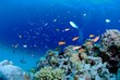 Leinwanddruck Bild - ハナダイと珊瑚礁