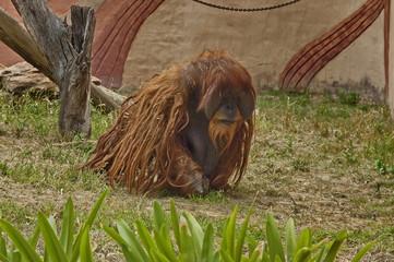 Orangutan ape in Johannesburg zoo