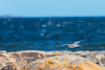 Seagull flying over the shoreline