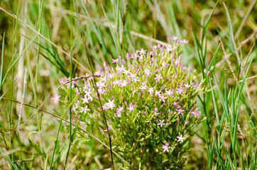 Pink saxifraga flowers