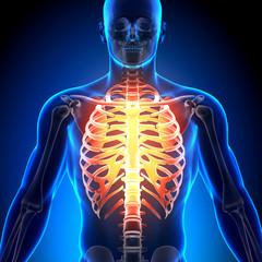 Rib Cage - Anatomy Bones