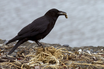 crow looking for nest material