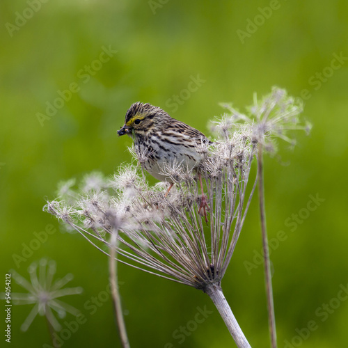 savannah sparrow feeding