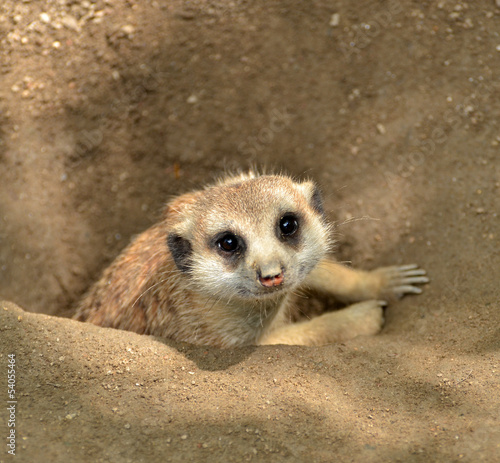 Meerkat peeking from ground