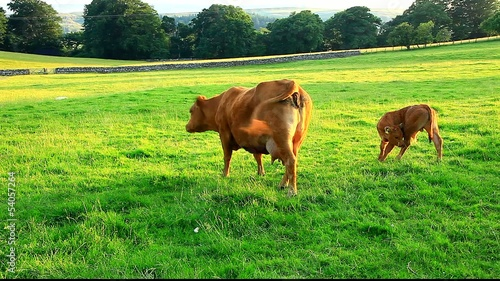 cow and calf grazing middleton teesdale uk