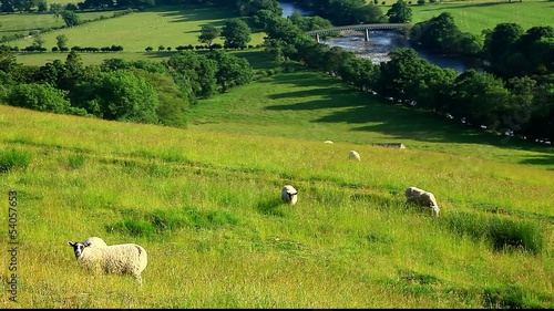 sheep grazing in middleton teesdale uk