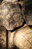 Yellow-footed tortoise, Chelonoidis denticulata, captive