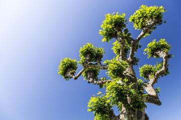 Plane tree - Platanus