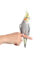 Woman hand holding a cockatiel parrot with forefinger