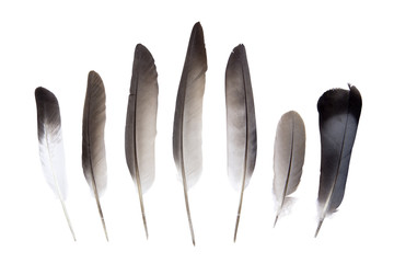 Dove feathers
