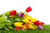 tulips in basket isolated on white background. colors, green gra