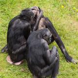 Bonobo apes