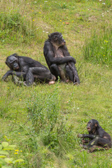 Groep Bonobo apen