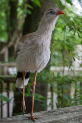 Red-legged-seriema,  Kuifseriema
