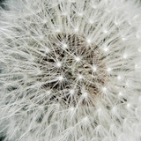 Heart of a dandelion - 54065664