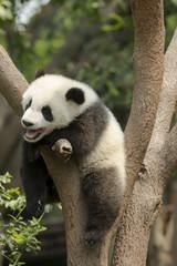 Yawning Giant Panda Bear Cub in Tree
