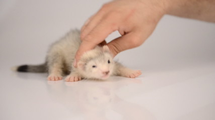small gray puppy ferret playing with human hand