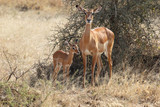 Baby impala with mother