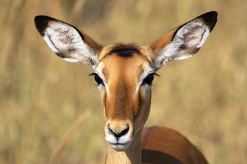 Portrait of female impala