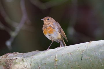 Robin juvenile perches on branch, Lancashire