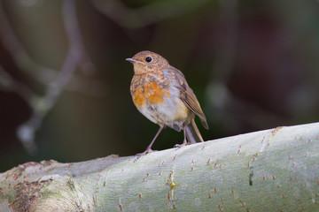 Robin juvenile perches on branch, Lancashire