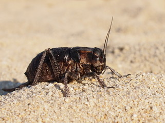 Cricket beetle on sand, Bradyporus dasypus, biggest cricket