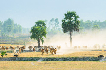 Cowherd on harvested field, Mekong Delta, An Giang, Vietnam