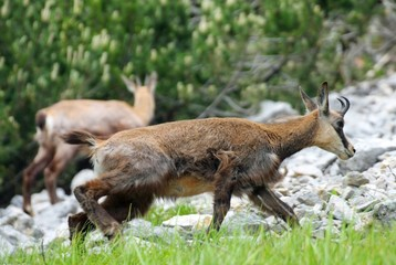 Wild herd of chamois in the wild while graze amid the rocks