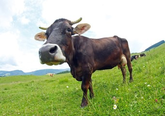 young brown cow grazing in the middle of the alpine meadow in th