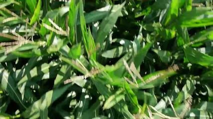 Filmflug über ein Maisfeld_3