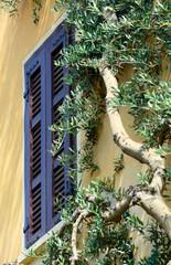 Ulivo rampicante su facciata