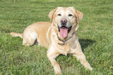 Yellow labrador retriever on green grass lawn