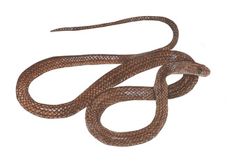 Asiatic Rat Snake