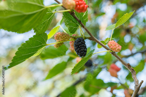 Mulberries