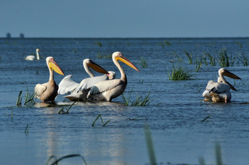 Great white pelicans in the Danube Delta