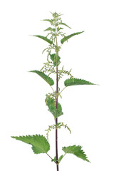 Stinging nettle with flowers isolated on white background