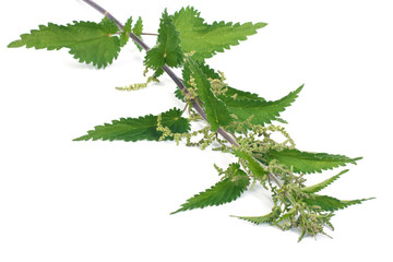 Stinging nettle plant isolated on white background