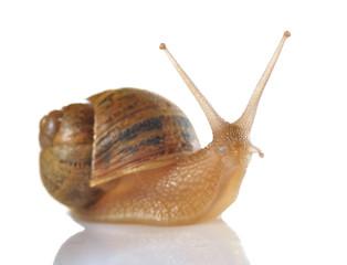Retrato de caracol.