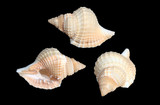 Shells of Distorsio reticularis