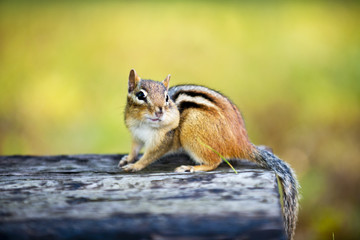 Chipmunk with stuffed cheek on log